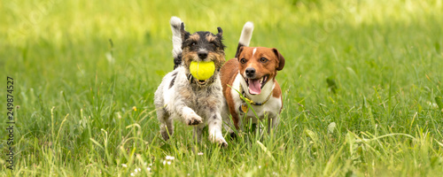 Two small Jack Russell Terrier are running and playing togehter in the meadow with a ball - 249874527