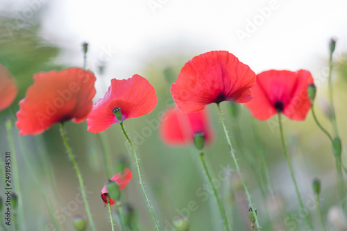 Red poppies field, remembrance day symbol - 249894538