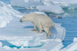 Leinwanddruck Bild - Wild polar bear (Ursus maritimus) going on the pack ice north of Spitsbergen Island, Svalbard