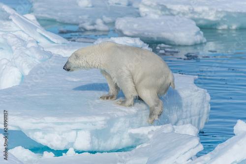 Leinwanddruck Bild Wild polar bear (Ursus maritimus) going on the pack ice north of Spitsbergen Island, Svalbard