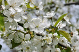 close-up of  blooming cherry-tree branch