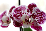 Orchid/Phalaenopsis. White with purple velvet inclusions. Close up. Home plant in a flower pot.
