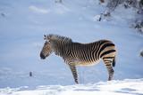 Zebra standing in snow