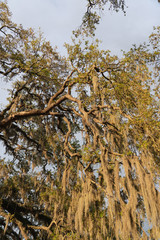 spanish moss hanging from a tree lit by the golden light of the setting sun