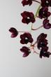 burgundy red orchid on a light background Fredklarkeara After Dark