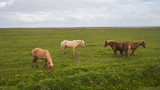 Image of beautiful horses from Iceland.