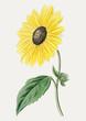 Californian sunflower