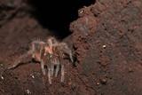 Tarantula in Costa Rica - 249969385