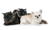 maine coon cats and chihuahua