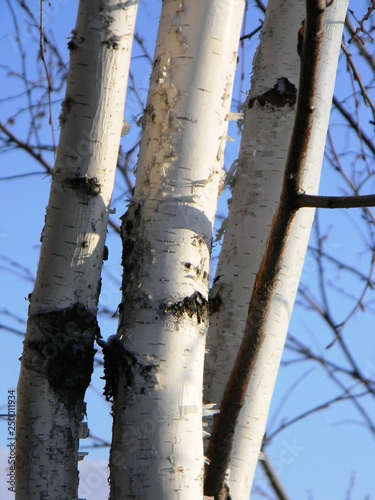 birch on sky background - 250011934