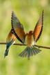 Leinwanddruck Bild - Europäischer Bienenfresser- Merops apiaster