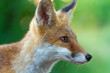Leinwandbild Motiv Rotfuchs - Vulpes vulpes