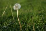 dandelion on background of green grass