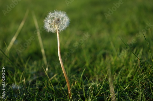 dandelion on background of green grass - 250030784