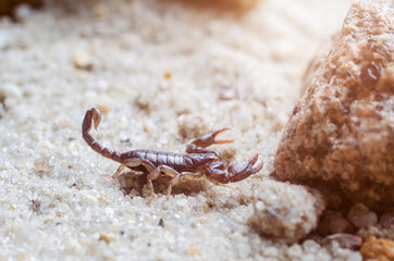 Scorpion creeps on the sand close up © andrei310