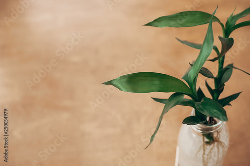 Green bamboo leaves, bamboo trees in glass jar on rustic wood, top view with copy space. Eco green technology idea. Asian background. Zero waste, sustainable lifestyle