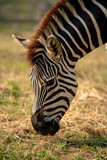 A zebra is eating grass on a sunny day.