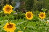 Sunflowers, village of old believers