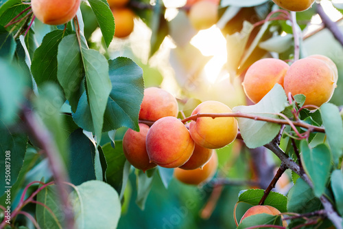 A bunch of ripe apricots on a branch - 250087308
