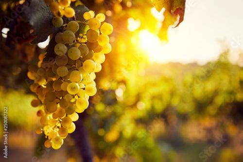 Leinwandbild Motiv The yellow grapes on a vineyard with sunlight at sunset