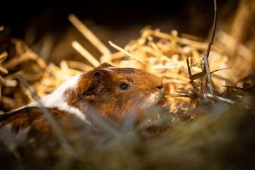 Animals: Meerschweinchen © CM Pro Photo