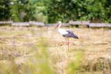 Stork walking through the meadow