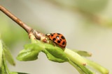 Ladybug on green branch - 250100100