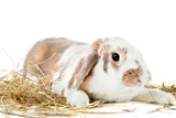 Beautiful rabbit with hay on white background