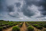 Lavendelfeld unter Gewitterhimmel