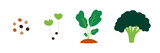 Vector cartoon illustration of broccoli life cycle throughout the growth season, from seed to flowering head. - 250128308