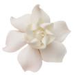 A Gardenia or Cape Jasmine on a White Background