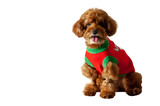 An adorable brown toy Poodle dog with smiling shot wear red dress isolated on white background with space for text.
