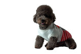 An adorable black toy Poodle dog with smiling shot wear white dress isolated on white background with space for text.