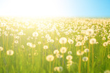 Spring meadow flowers on summer field of dandelion at sunlight backdrop Sunny evening sky sun light. Dandelions in meadow at sunset.
