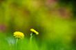 Dandelion flower (Taraxacum officinale) in the field.