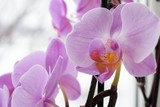 Branch of lilac orchid on white background