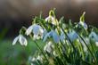Leinwanddruck Bild - Schneeglöckchen auf grüner Wiese läuten den Frühling ein