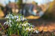 Leinwanddruck Bild - Schneeglöckchen vor einem Gutshof im Frühling