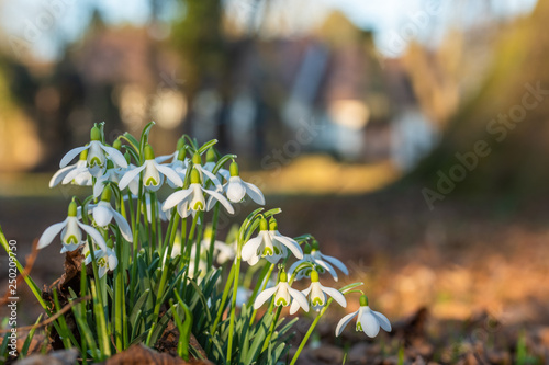 Leinwanddruck Bild Schneeglöckchen vor einem Gutshof im Frühling