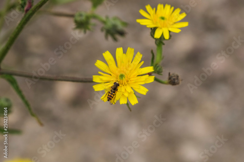 dandelion with bee - 250234164