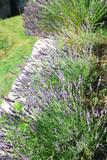 rangée de lavandes en été en provence