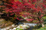 Maple tee on riverside view in autumn season on the hill in Obara district, Toyota city, Nagoya, Japan.