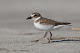 Wilson's Plover in winter plumage - Jekyll Island, Georgia