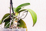 Roots and leaves of an orchid on a white  background_