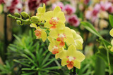 A sprig of bright yellow orchids.