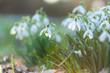 Leinwanddruck Bild - märchenhaft anmutende Schneeglöckchen leuchten in der ersten Frühlingssonne