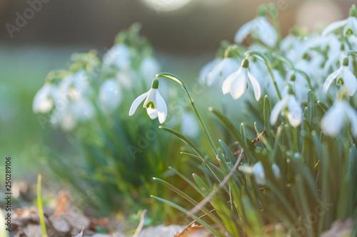 Leinwanddruck Bild märchenhaft anmutende Schneeglöckchen leuchten in der ersten Frühlingssonne