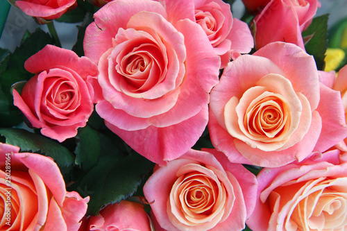 pink roses background - 250289164