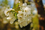 Cherry and sweet cherry flowers with delicate white petals on a tree branch with green leaves