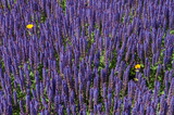 blue flower, lavender